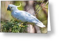 White Cockatoo Greeting Card