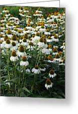 White Coneflower Field Greeting Card
