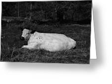 White Cow Luxuriates Greeting Card