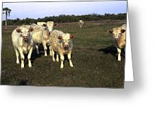 White Cows Greeting Card