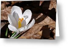 White Crocus Greeting Card