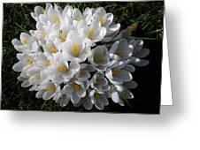 White Crocuses Greeting Card