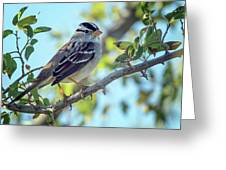 White-crowned Sparrow 0033-111017-1cr Greeting Card