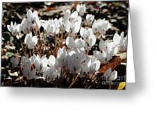 White Cyclamen Greeting Card