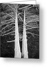 White Dead Trees Greeting Card