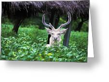 White Deer Greeting Card