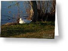 White Duck Resting Greeting Card