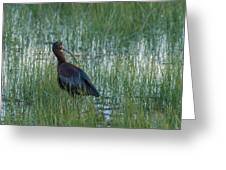 White-faced Ibis In Idaho Greeting Card