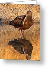 White-faced Ibis Reflecting On Late Spring Morning Greeting Card