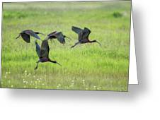 White-faced Ibis Rising, No. 2 Greeting Card