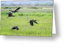 White-faced Ibis Rising, No. 3 Greeting Card