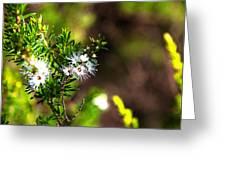 White Flowers Of Kunzea Ambigua Greeting Card