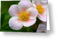 White Flowers With Pink And Yellow Greeting Card