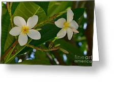 White Frangipani Flowers Greeting Card