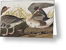 White-fronted Goose Greeting Card