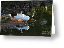 White Geese In A Park With Water Reflection Greeting Card