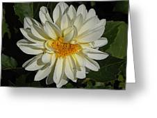 White Gerbera Greeting Card