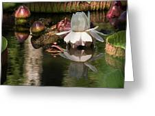 White Giant Water Lily Greeting Card