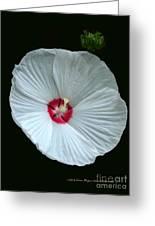 White Hibisci #18 Greeting Card