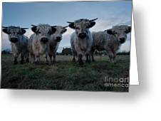 White High Park Cow Herd Greeting Card