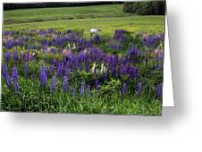 White Horse In A Lupine Field Greeting Card