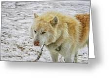 White Huskie Greeting Card