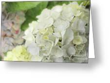 White Hydrangea At Rainy Garden In June, Japan Greeting Card
