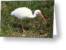 American White Ibis Bird Greeting Card