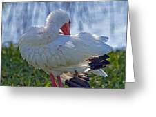 White Ibis Dries Off Greeting Card