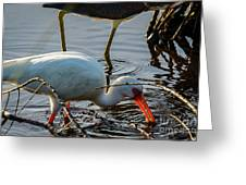 White Ibis Eating Greeting Card