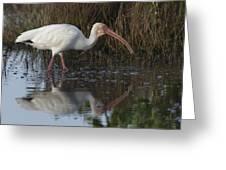 White Ibis Feeding Greeting Card