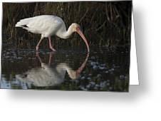 White Ibis Feeding In Morning Light Greeting Card
