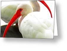 White Ibis Greeting Card