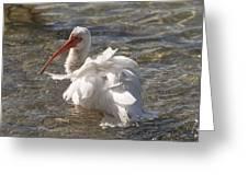 White Ibis In Florida Greeting Card