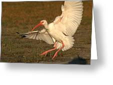 White Ibis Landing Upon Ground Greeting Card