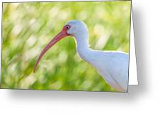 White Ibis Portrait Greeting Card