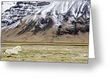 White Icelandic Horse Greeting Card