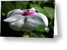 White Impatien Greeting Card
