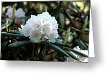 White Inflorence Of  Rhododendron Plant Greeting Card