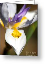 White Iris One Greeting Card