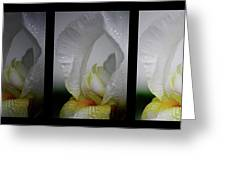 White Iris Study Triptych Greeting Card
