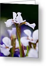 White Japanese Iris 2 Greeting Card