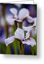 White Japanese Iris Greeting Card