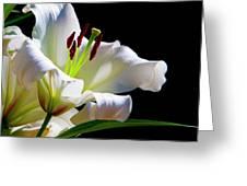 White Lilium Greeting Card
