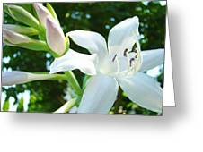 White Lily Flowers Art Prints Lilies Giclee Baslee Troutman Greeting Card