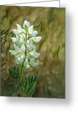 White Lupin Lupinus Albus Greeting Card