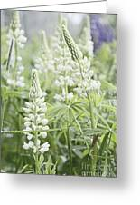 White Lupines Greeting Card