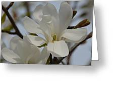 White Magnolia Blooming In Spring Greeting Card