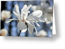 White Magnolia  Greeting Card by Elena Elisseeva