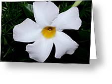 White Mandevilla Greeting Card
